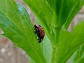 Coccinella septempunctata on the grass.jpg