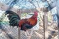 Cock in jail Margarita Island.jpg