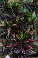 Codiaeum variegatum (croton) (9059649056).jpg