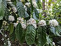 Coffea arabica 5.jpg