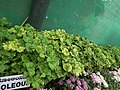 Coleous from Lalbagh flower show Aug 2013 8271.JPG