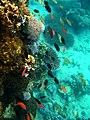 Colorful underwater world, Mabini Batangas - panoramio (5).jpg