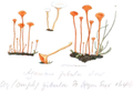 Coloured Figures of English Fungi or Mushrooms - t. 45.png