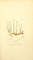 Coloured Figures of English Fungi or Mushrooms - t. 95.png