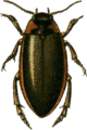 Colymbetes striatus Jacobson.png
