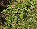 Common Bracken (Pteridium aquilinum) - Oslo, Norway 2020-08-30.jpg