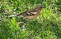 Common Chaffinch (Fringilla coelebs) male (17025426449).jpg