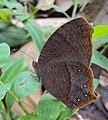 Common Evening Brown -Melanitis phedima 02.JPG