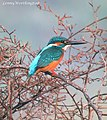 Common Kingfisher Alcedo atthis bengalensis (Linnaeus, 1758) (16167504230).jpg