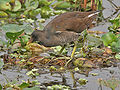 Common Moorhen (Gallinula chloropus)- Immature at Kolkata I IMG 2455.jpg