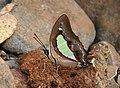 Common Nawab Polyura athamas by Dr. Raju Kasambe DSCN5879 (8).jpg