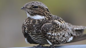 Common Nighthawk (14634984823).jpg