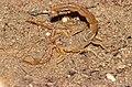 Common Yellow Scorpion (Buthus occitanus) (36170223630).jpg