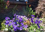 Competing with the Lilies (32493918315).jpg