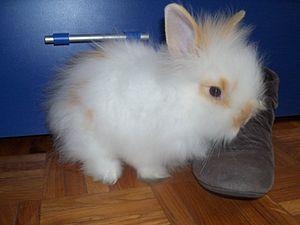 Español: Conejo angora
