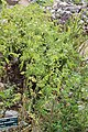 Conium maculatum GiardinoBotanicoAlpinoViote 20170902 D.jpg