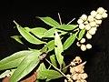 Conocarpus erectus - Green buttonwood - WikiSangamotsavam 2018, Kottappuram, Kodungalloor (3).jpg