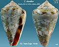 Conus claudiae.jpg