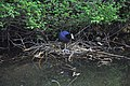 Coot trying to lay egg on its floating nest - panoramio.jpg