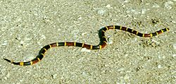 Coral snake.jpg