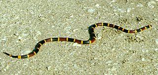 Coral snake image