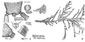 Corallina officinalis - Image: Corallina officinalis Florenski