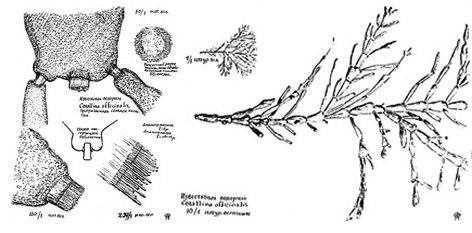 Corallina officinalis Florenski