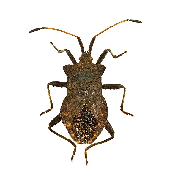 Dock bug. Dorsal view of adult.   Locality: Fronton, Midi-Pyrénées, France   Size :  (antennae and legs off) : 14 mm.