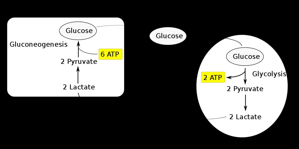Carbohydrate Metabolism Pdf