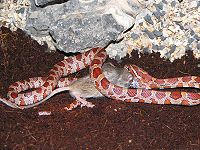 Cornsnake vs mouse.jpg