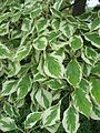 Cornus controversa leaves 01 by Line1b.jpg