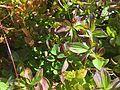 Cornus suecica skrubbebär Blefjell IMG 1442.jpg