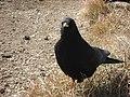 Corvo ....di daiano (gracchio alpino) - panoramio.jpg