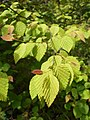 Corylopsis pauciflora 2017-06-25 2990.jpg