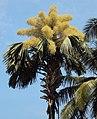 Corypha umbraculifera 9.JPG
