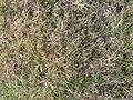 Couch grass (3437844022).jpg
