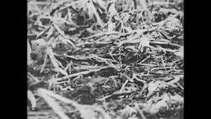 File:Courtship rituals of the heath hen.webm