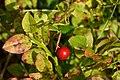 Cowberry (Vaccinium vitis-idaea) among Common Bilberry (Vaccinium myrtillus) Leaves - Oslo, Norway 2020-08-26.jpg
