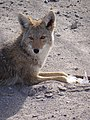 Coyote in Repose - Salt River - Death Valley - California - USA (6914409203).jpg