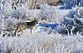 Coyote in hoar frost on Seedskadee NWR (13234615673).jpg