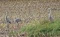 Cranes - panoramio - Jason Rollette.jpg
