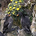 Crested auklet pair (5944746087).jpg