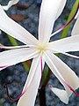 Crinum americanum (string lily) 2 (49748944452).jpg