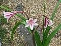 Crinum x herbertii Pat's Herbertia - Flickr - peganum (2).jpg