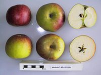 Cross section of Brabant Bellefleur, National Fruit Collection (acc. 1945-079).jpg