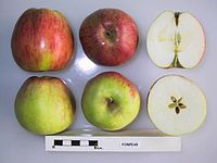 Cross section of Forpear, National Fruit Collection (acc. 1957-194).jpg