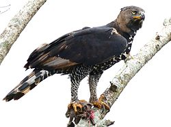 Crowned Eagle (Stephanoaetus coronatus) with prey ... (29591438981).jpg
