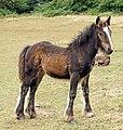 Crymlyn Bog - horse.jpg