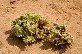 Cryptantha crassisepala - Flickr - aspidoscelis (7).jpg