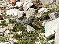 Ctenosaura similis (4002412941).jpg